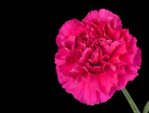 Red Carnation Stock Photography
