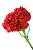 Red carnation. On a white background Royalty Free Stock Image