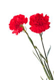 Red carnation Royalty Free Stock Photography