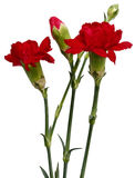 Red carnation Royalty Free Stock Images