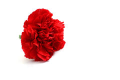 Red carnation. Flower on a white background Royalty Free Stock Photos