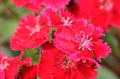 Free Red Carnation Stock Photo - 35320480