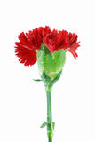 Red carnation. Isolated on white Stock Image