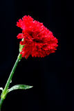 Red Carnation Blossom. Red Carnation blossom and in full bloom on black background Stock Photography