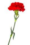 Red carnation close-up Stock Photos