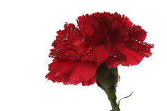 The red carnation and drops of water. The red carnation and a drop of water Stock Images