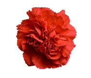 Red Carnation Flower Royalty Free Stock Image
