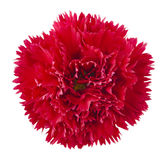 Red carnation flower Royalty Free Stock Photography