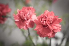 Red carnation Stock Photo