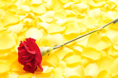 Red carnation flower Stock Photos