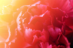 Red carnation flower head Royalty Free Stock Photos
