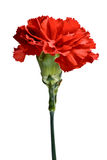 Red carnation flower, isolated. Red carnation flower isolated on white background Royalty Free Stock Photos