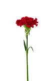 Red carnation flower isolated Stock Photos