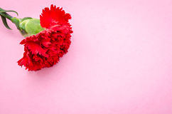 Red carnation flower on pink background. Stock Photos