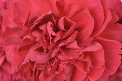 Carnation flower texture. Red carnation flower texture background Royalty Free Stock Images