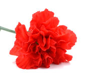 Red carnation flower on white background. Beauty red carnation flower on white background royalty free stock photos