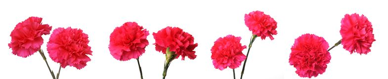 Red carnation flowers stock photography