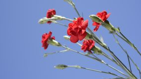 Red carnation flowers. Bright red carnation flowers under blue sky stock video footage