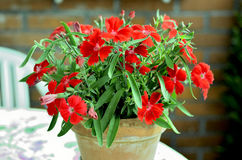Red Carnation Flowers. Red carnation flower pot on an outdoor table stock images