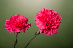 Red carnation flowers in full bloom Royalty Free Stock Images
