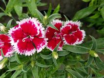 Red Carnation flowers with white edge in garden. Nature and botany, decorative plant for gardens, natural flower with petals and colors Stock Photos