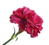 red carnation isolated Royalty Free Stock Photography