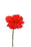 Red carnation isolated. On the  white background Royalty Free Stock Image