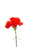 Red carnation isolated. On the  white background Royalty Free Stock Photo