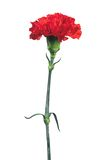 Red carnation isolated on white Royalty Free Stock Images