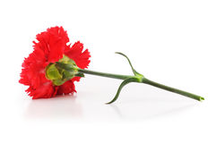 Red carnation isolated on the white background Royalty Free Stock Photos