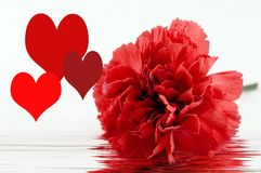 Red carnation and love hearts Stock Photography