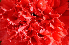 Red Carnation Macro Stock Photo