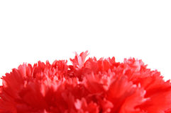 Red Carnation Macro Stock Images
