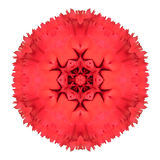 Red Carnation Mandala Flower Kaleidoscopic Isolated on White Stock Images
