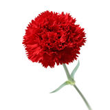Red carnation , mother's day Stock Photography