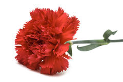 Red carnation over white Stock Images