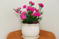 Red carnation in pot in the room Royalty Free Stock Photos