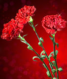 Red carnation. Still-life Royalty Free Stock Photography