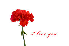 Red carnation on white Stock Image