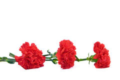 Red carnation on white Royalty Free Stock Image