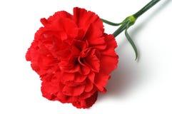 Red carnation on white background. (horizontal) Stock Photos