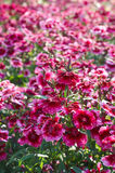 Red carnations Royalty Free Stock Photography