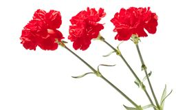 Red carnations. Flowers. Red carnations isolated on white background Stock Photos