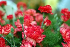 Red carnations. Bouquet of beautiful red carnations Stock Photo