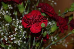 Red Carnations with Baby`s Breath Stock Photos