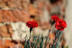 Red carnations on a background of brick wall. The red carnations on a background of brick wall Stock Photography
