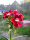 Red Carnations Basking in the Sun stock photography