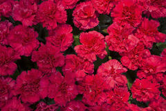 Red carnations Royalty Free Stock Photo