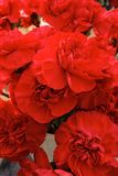 Red carnations, flowers Royalty Free Stock Photo