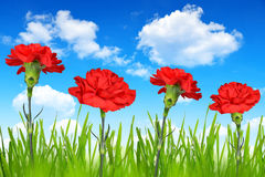 Red carnations Royalty Free Stock Photos